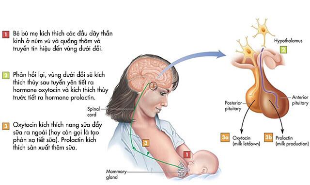 Cơ chế tạo sữa mẹ